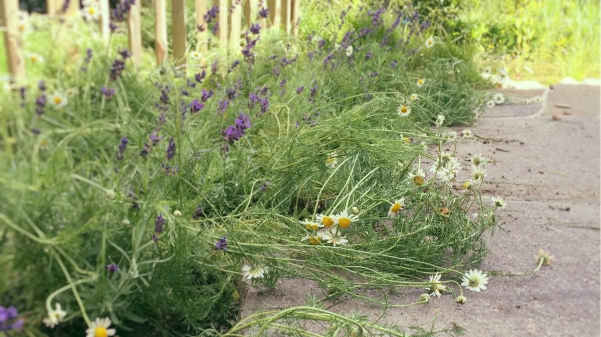 Kamille im Garten